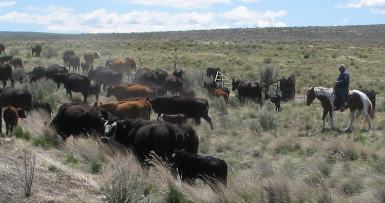 Oregon Cattle Drive